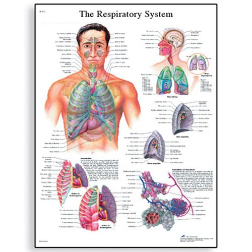 Anatomical Charts | ERP Group