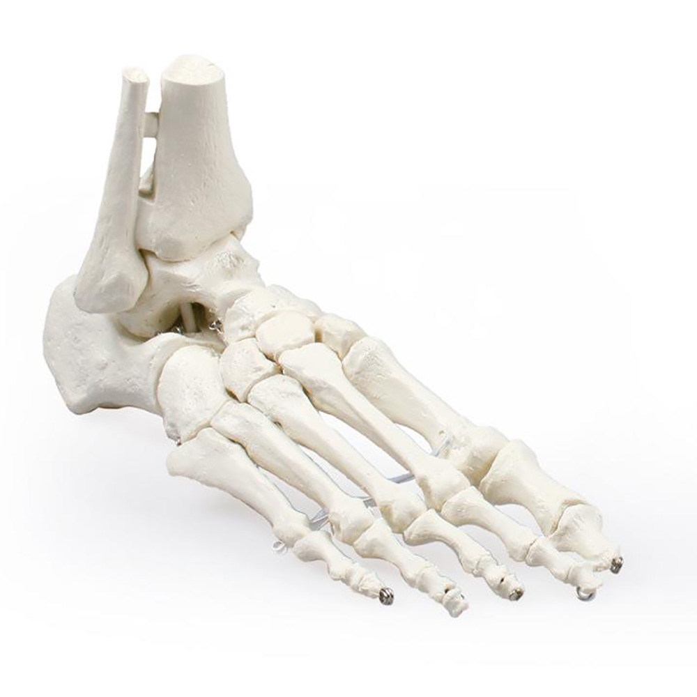 Foot Model with Tibia and Fibula Insertion